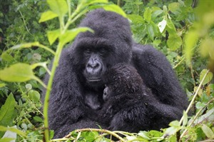 Mountain gorillas of the Bwinid Forest