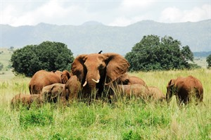 Elephants,  Kidepo Valley National Park