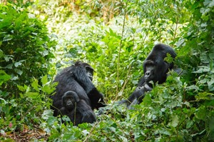 A highlight of your trip - gorilla trekking