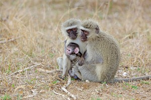 Ververt monkeys, Kruger National Park