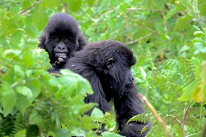 Few wildlife experiences are as impressive as visiting the Gorillas