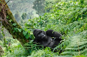 Silverback keeping a wary eye on visitors