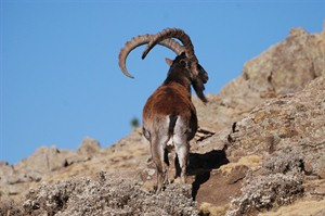 The critically endangered Walia ibex at Chennek