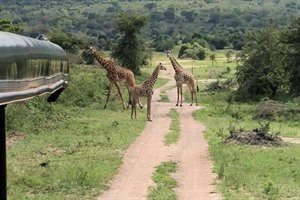 Encountering Giraffes during game drive in Akagera (Craig)