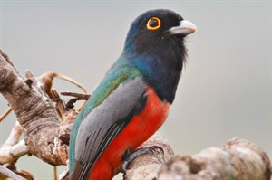 Blue Crowned Trogon