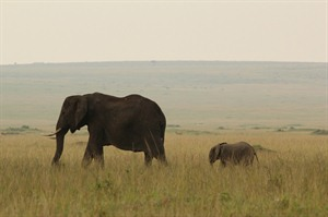 Elephants in the Masai Mara at Governors