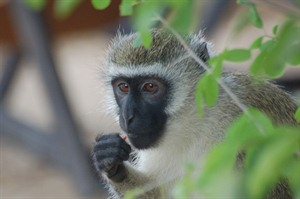 Cheeky colobus monkeys of Waterlovers