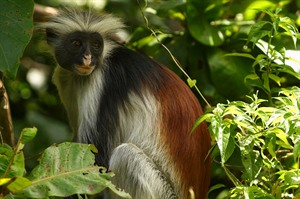 Red Colobus, Jozani Forest Reserve