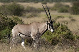 Beisa oryx; one of the 'Samburu Big Five'