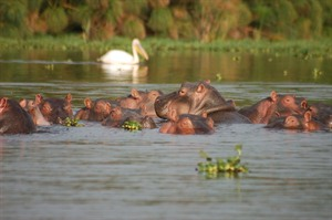 Hippos swimming in Lake Naivasha