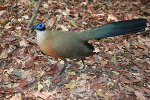Coquerel's coua, smaller than Giant coua, is resident in Kirindy