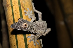 Giant leaf-tailed gecko, Fontenay Park