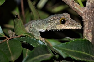 Mossy leaf-tailed gecko, Montagne d'Ambre (Craig)