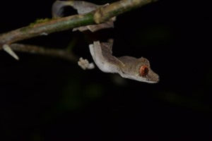 Spearpoint leaf-tailed gecko, Montagne d'Ambre (Craig)