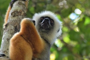 Diademed sifaka (Critically Endangered) is easily seen at Andasibe