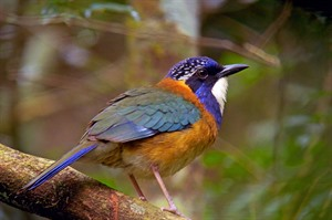 Pitta-like ground-roller is found in Andasibe-Mantadia National Park