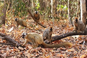 Conspiracy of Red-fronted lemurs, Kirindy