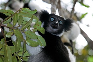 Largest of all extant Lemurs, the ape-like Indri can be seen at Andasibe-Mantadia