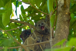 Claire's sportive lemurs, Lokobe, are critically endangered.