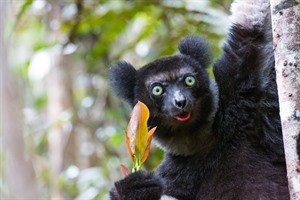Indri, the icon of Andasibe-Mantadia National Park