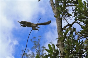 Brown lemur in mid-air, Andasibe-Mantadia (Mike Unwin)