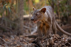 Kirindy is the best place in which to seek Fossa (Fosa)
