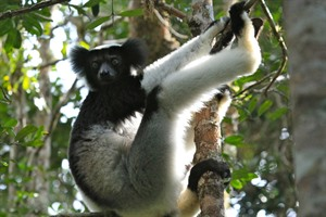 The chimp-sized Indri is easily seen at Andasibe (Mike Unwin)