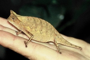 Brookesia supercilliaris, one of the tiny Stumptailed chameleons