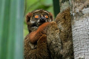 Eastern woolly lemur, Andasibe (Mike Unwin)