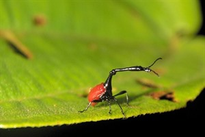Giraffe weevils are easily seen in Andasibe