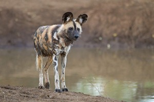 Wild dog in the Madikwe Game Reserve