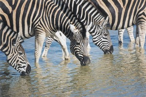 Zebras At Madikwe