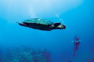 Green turtles are regularly seen in the Nosy Be region