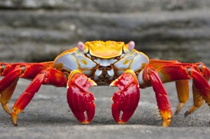Sally lightfoot crab, The Galapagos Islands