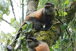 The rare Golden monkey can be seen at Volcanoes National Park