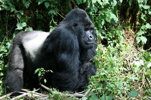 Silverback of the Sabyinyo gorilla family