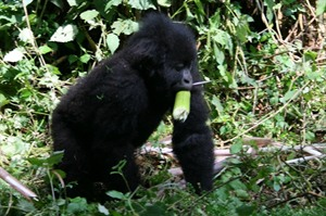 Baby mountain gorilla at Parc National des Volcans