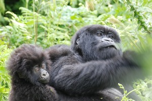 Being surrounded by a band of Mountain gorillas ia a thrilling experience!