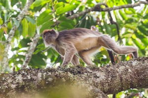 Red colobus, Kibale Forest
