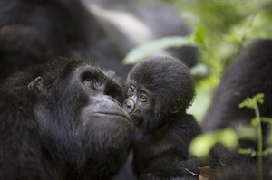 Mountain gorilla and baby at Bwindi Impenetrable Forest National Park