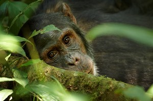 Kibale Forest offers outstanding Chimpanzee tracking