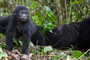 Mountain gorillas at Bwindi Impenetrable Forest National Park