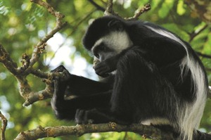 Colobus monkeys can be seen in Bwindi, Kibale and even Entebbe Botanical Gardens