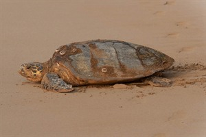 Marine turtles come to deposit eggs on some of the beaches, mostly in December