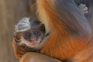 Baby Western red colobus