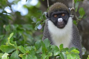 Lesser spot-nosed monkey