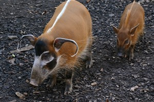 Red river hog is present but elusive, especially on Tiwai