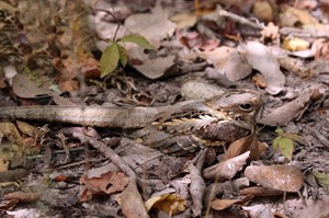 Male long-tailed nightjar