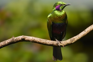 The near-endemic Emerald starling
