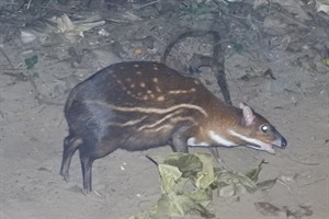 Water chevrotain (c) Dérozier Violette